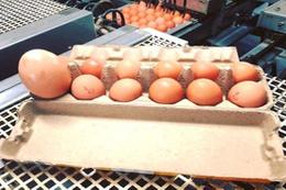 Yumurtada yeni dönem pazartesi resmen başlıyor