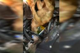 Canlı danaları otomobilin motoruna saklamışlar