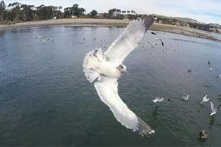 Havada drone ile karşı karşıya gelen martı