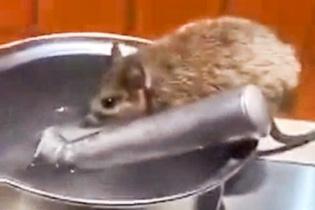 Restoranda tezgahın üzerinde su içen fare!