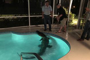 Evlerinin havuzunda timsah buldular!