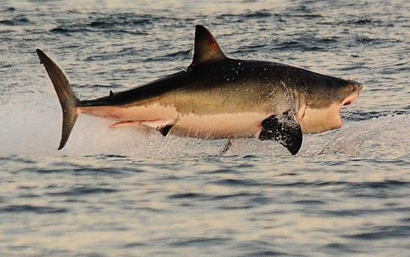 Köpekbalığını sığlık bir yerde kıstırıp çıplak ellerle yakaladı