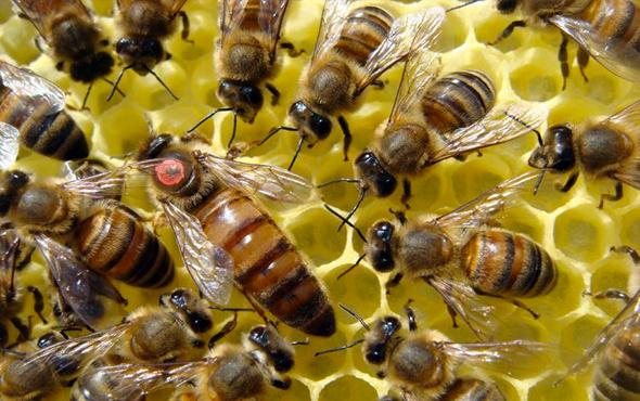 Arılar durumun gerektirdiği şekilde davranıyor
