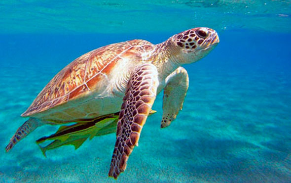Kabuğu kırılan deniz kaplumbağası tedavi edildi