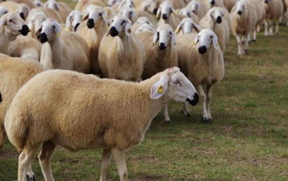 300 koyun dağıtımı ne zaman 500 bin damızlık yola çıktı