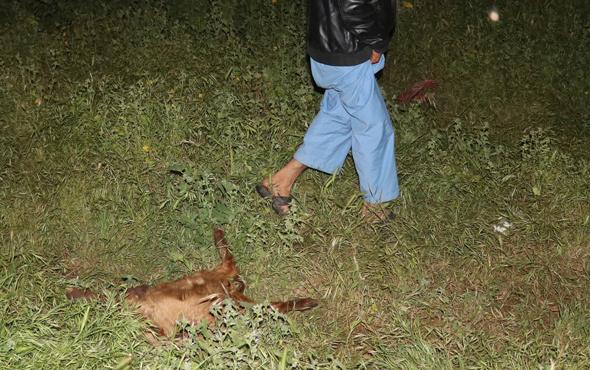Adana'da sokak köpekleri keçi sürüsüne saldırdı