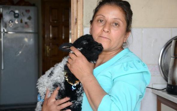 Trabzon'da apartmanda yaşayan kuzu altı bezli ve...
