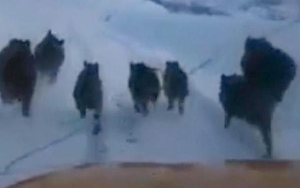 Bingöl'de domuz sürüsü karayoluna indi