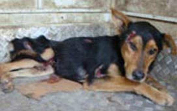 Kızgın şişle köpeğe işkence yapıldı!