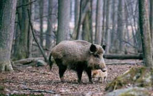 Almanlar domuz avı için Çorum'da
