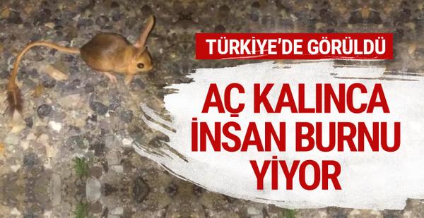 Türkiye'de görüldü! Aç kaldığında insan burnu yiyor