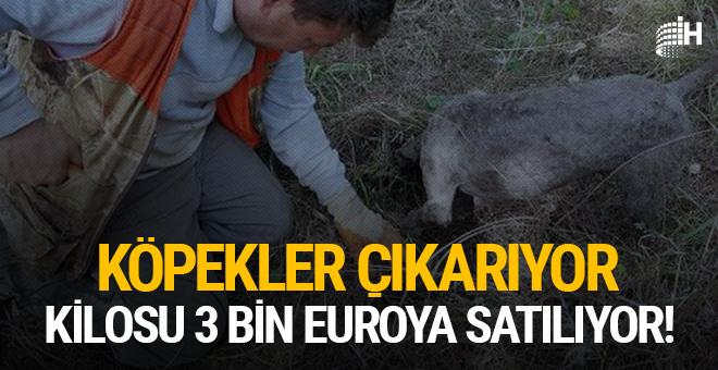 Köpekler çıkarıyor, kilosu 3 bin euroya satılıyor!