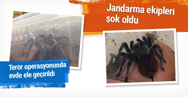 Terör operasyonunda çok zehirli 15 örümcek ele geçirildi