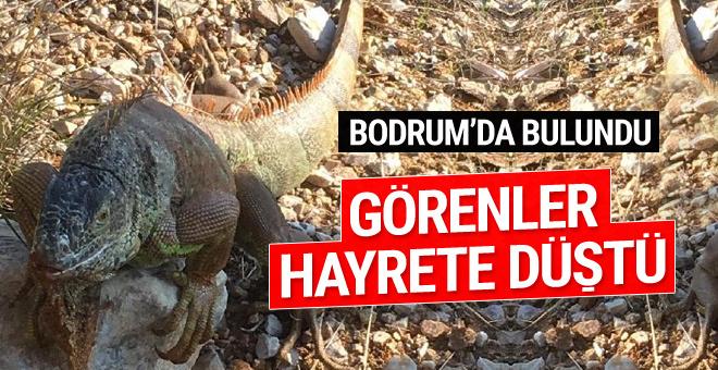 Görenler hayrete düştü! Yol kenarında 1 metre boyunda iguana bulundu