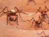 Karıncaların şaşırtan bir özelliği daha