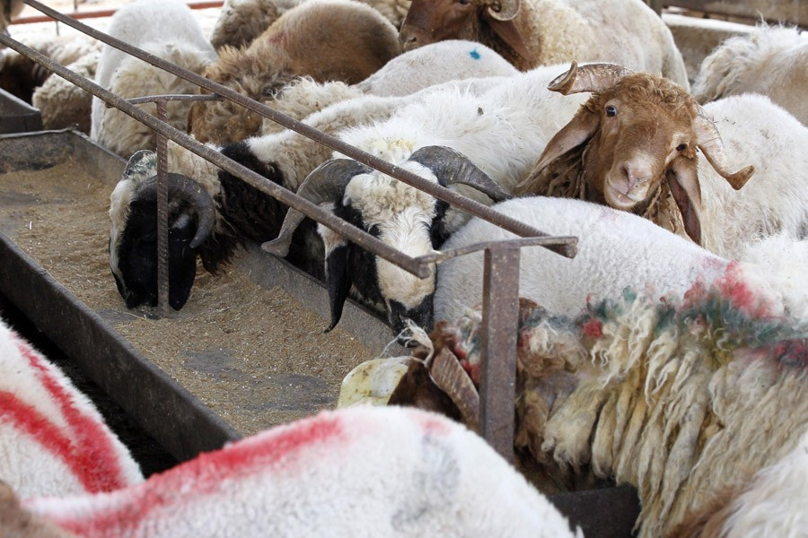 Kurbanlık dana ve koyun fiyatları en iyi kurbanı seçme tüyosu!