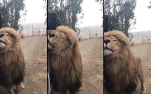 Beğendiği arabayı ilginç bir şekilde işaretleyen aslan