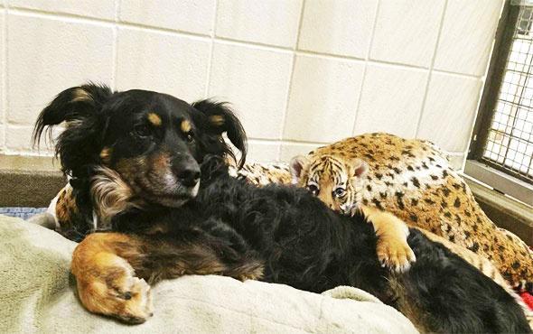 Çoban köpeği, kaplan yavrularına annelik yapıyor