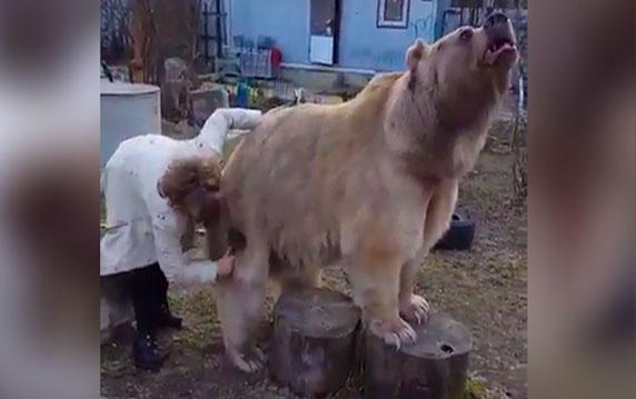 Böyle bir şey görülmedi! Evcil hayvan olarak ayı besliyor