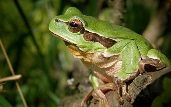 Hindistan'da yeni kurbağa türleri keşfedildi