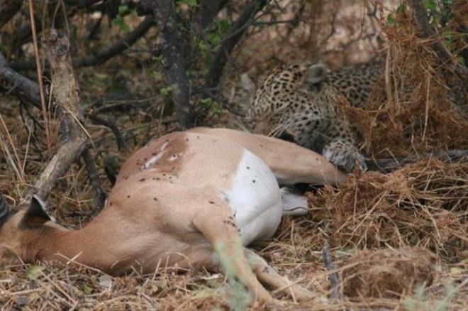 Çita avının hamile olduğunu görünce öyle bir yaptı ki
