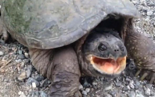 Kaplumbağanın inanılmaz saldırısı kamerada!