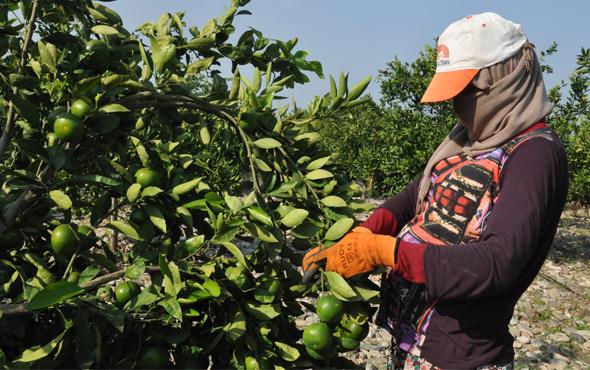 Hatay'da sezonun ilk mandalina hasadı yapıldı
