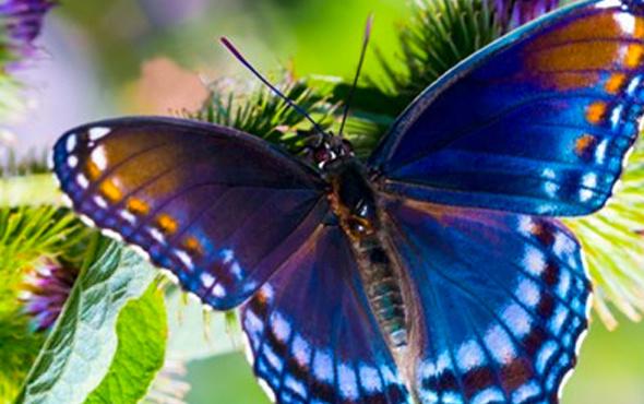 Gen modifikasyonu ile kelebeklerin desenini değiştirdiler