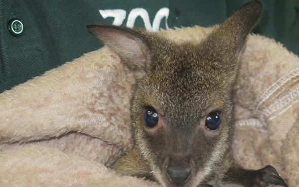 Kocaeli'de yavru kanguru 'Pinky'e anne sıcaklığıyla bakılıyor
