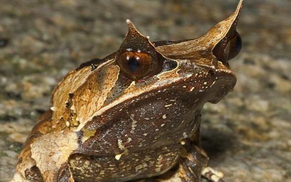 Boynuzlu kurbağa bir dinazoru bile yiyebilir
