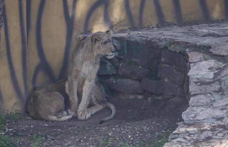Erdoğan'a hediye edilen aslanlar Gaziantep'teki yuvalarına yerleştirildi