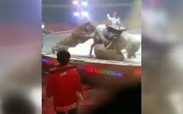 Sirkte korkunç olay: Aslan ve kaplan, ata saldırdı!