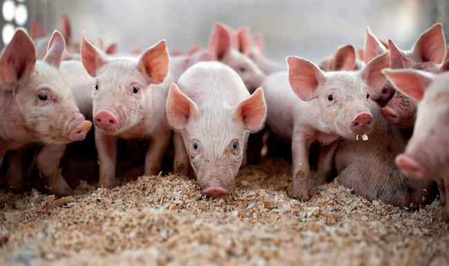 Kanınız donacak! Yediğiniz her şeyde domuz var... Et, yoğurt, yağ, kuruyemiş...