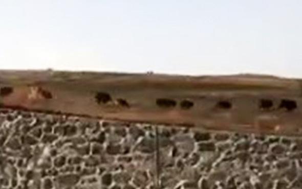 Muş'da domuz sürüsü böyle görüntülendi
