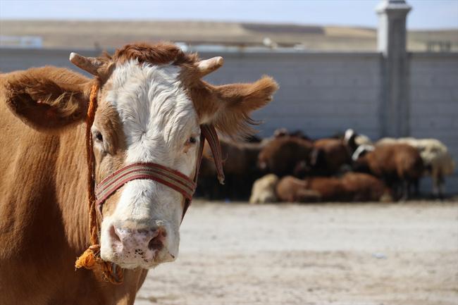 Çanlar hayvancılık sektörü için çalıyor