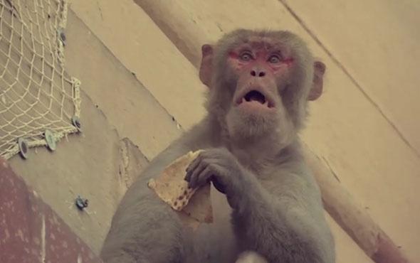 Hindistan'da maymunlar sokaklarda yiyecek ve cep telefonu çalıyor