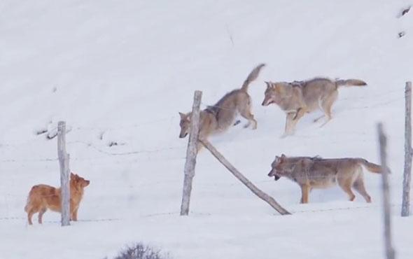 Köpekle oynayan vahşi kurtlar şakayı kaka yaparsa