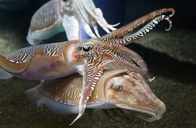 Mürekkep balığından hamile kaldı! Böyle şey görülmedi