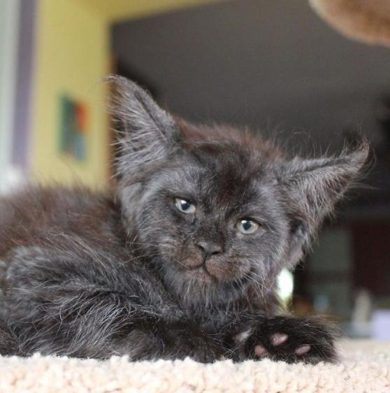 Görenler hayrete düşüyor! İşte insan yüzlü kedi