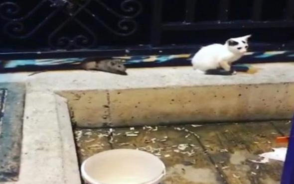 Kedilere saldıran fare kamerada