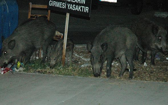 Bodrum'da odun toplayan gence domuz saldırdı!