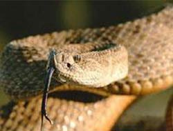 Iğdırda 6 metrelik dev yılan yakalandı