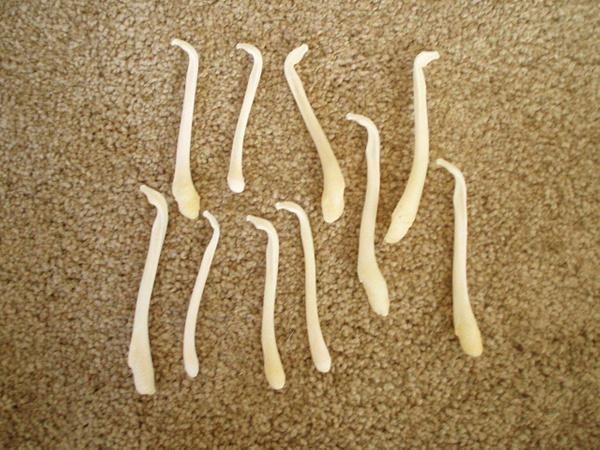 İnsanların penis kemiği ortaya çıktı dünyada bir ilk İngilizler buldu - Sayfa 1