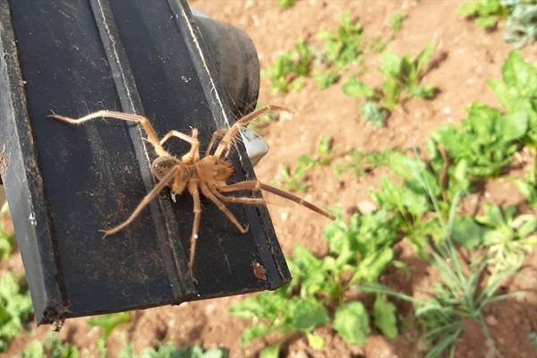 Elazığ'da etçil örümcek endişesi - Sayfa 5