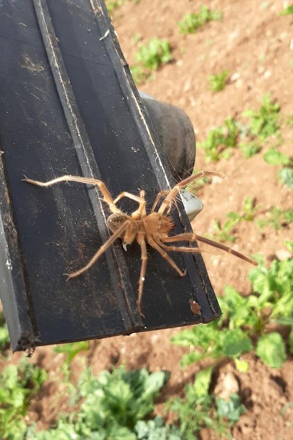 Elazığ'da etçil örümcek endişesi - Sayfa 3