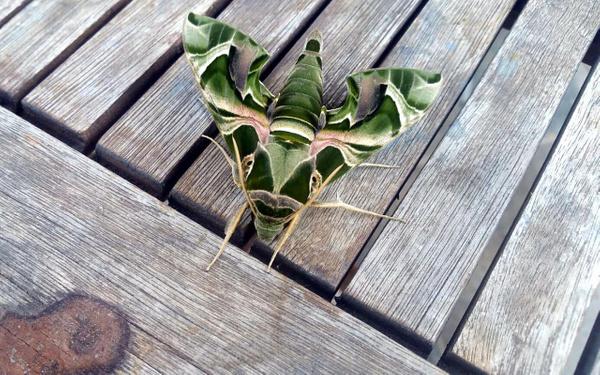 Muğla Bodrum'da nadir rastlanan mekik kelebeği görüldü - Sayfa 2