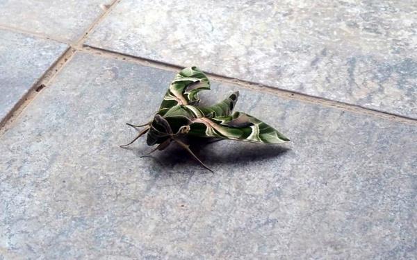 Muğla Bodrum'da nadir rastlanan mekik kelebeği görüldü - Sayfa 3
