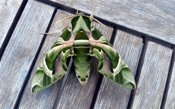 Muğla Bodrum'da nadir rastlanan mekik kelebeği görüldü - Sayfa 4
