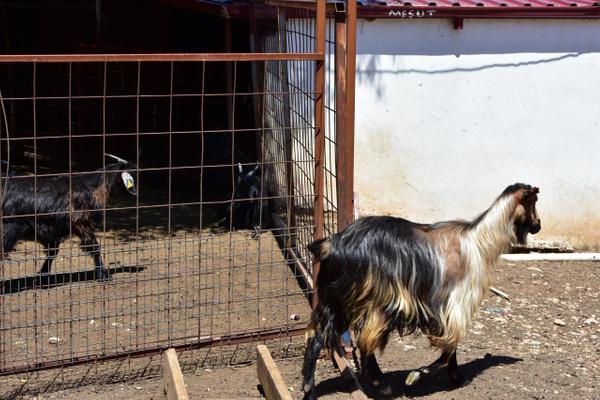 Muğla'da yeni işe aldığı iki çoban besiciye dehşeti yaşattı - Sayfa 3