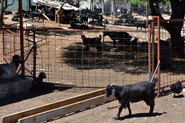 Muğla'da yeni işe aldığı iki çoban besiciye dehşeti yaşattı - Sayfa 4